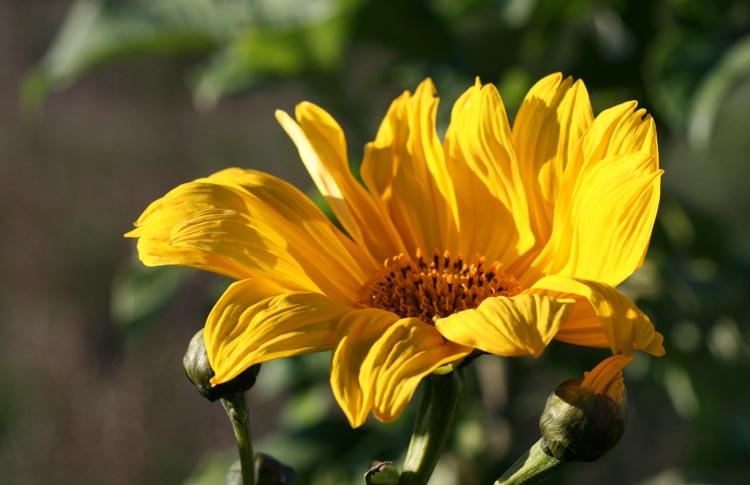 Tithonia diversifolia Bolivian Sunflower fleur de la fête des Mères
