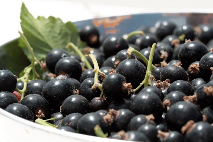 Blackcurrant cassis Ribes nigrum