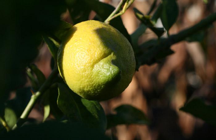 レモン Λεμόνι  lemon