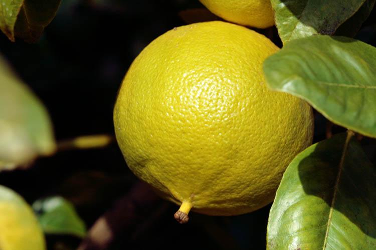Bergamot ベルガモット Bergamote Citrus bergamia fantasticob ergamotto fantastico