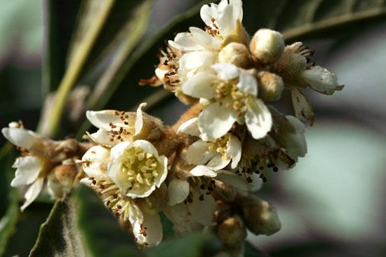 ビワ loquat blossom fleur nefle japon