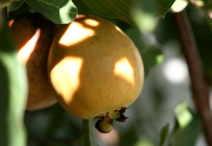 グアバ  guava  goyave  goiaba