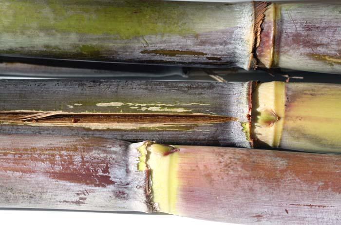 Sugarcane サトウキビcanne à sucre Cana-de-açúcar