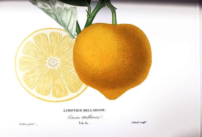 Limonier mellarosa A Poiteau Risso