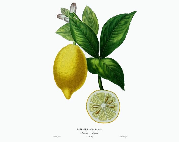 Limonier ordinaire A. Poiteau Risso
