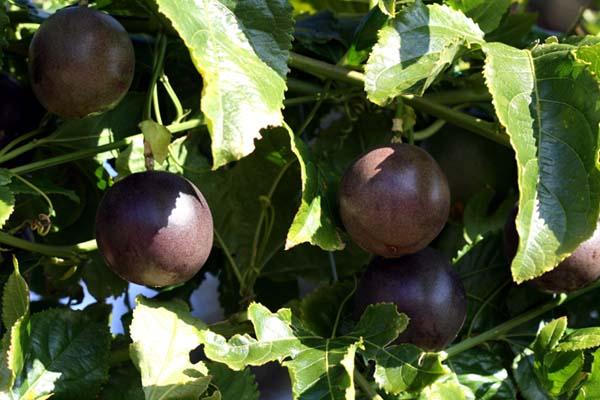 Purple passion fruit Maracujá