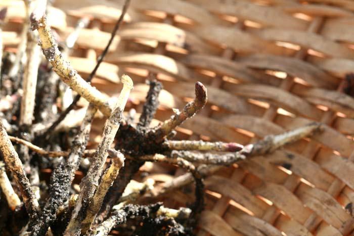 ホップ houblon Humulus lupulus