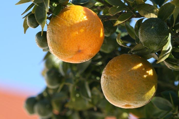 柑橘類 myrtle leaf orange chinotto oranger amer à feuilles de myrte Citrus aurantium Myrtifolia