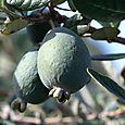 Feijoa Pineapple Guava Guavasteen goyaves ananas du Brésil