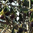 Olive olives azeitonas