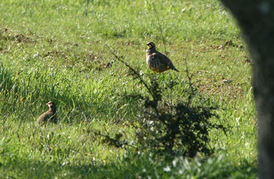 Partridge perdrix perdiz
