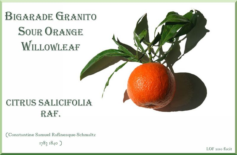 Citrus aurantium salicifolia granito Willowleaf orange