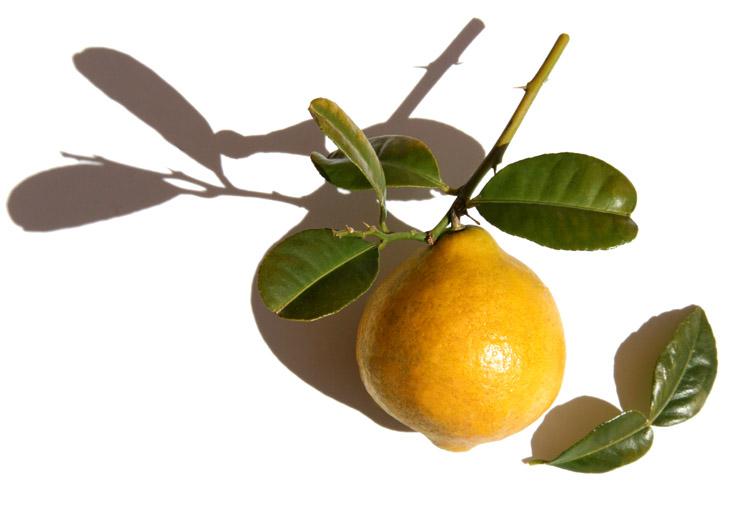 メラネシアパペダ Citrus macroptera Malesia bitterorange