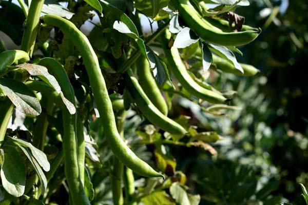 Fava Bean ソラマメ  feves