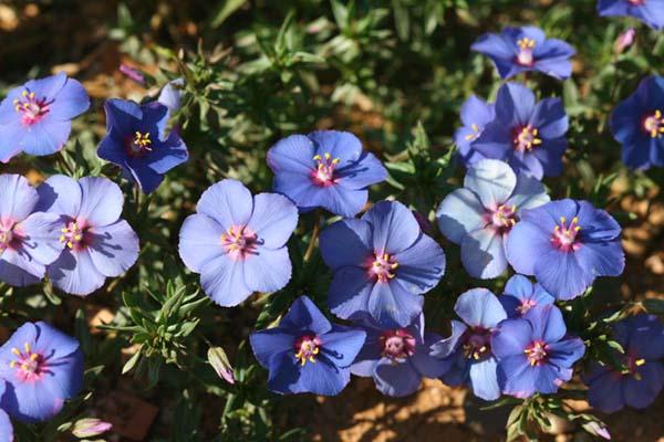 Blue Pimpernel morrião azul