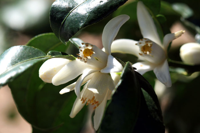 Yuzu blossom Citrus junos