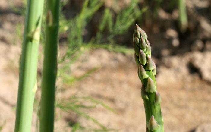 Asparagus espargo aspargo