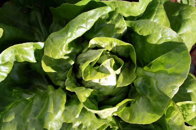 Lettuce laitue Lactuca sativa