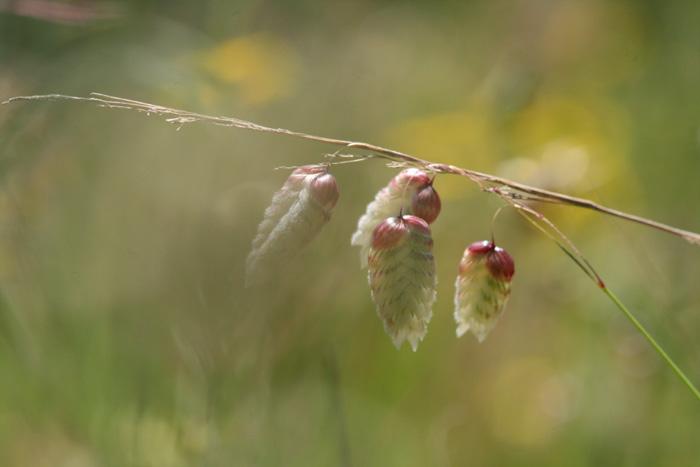 Quaking grasses コバンソウ属 hierbas de temblor