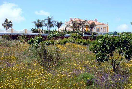LOF aux chrysanthemes de Myconos