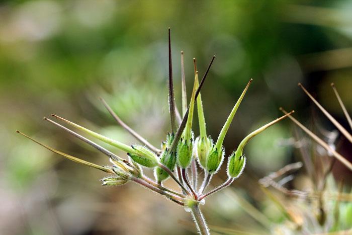 Erodium moschatum fruit