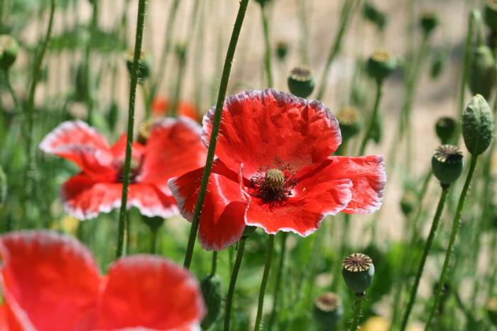 Poppy ヒナゲシ Coquelicot Papaver rhoeas