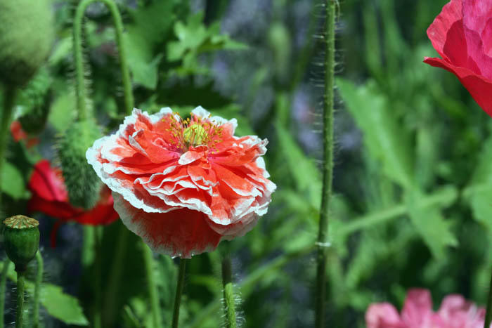 Red white poppy