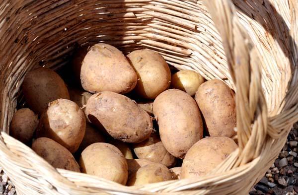 Potatoe بطاطس pomme de terre Melody s