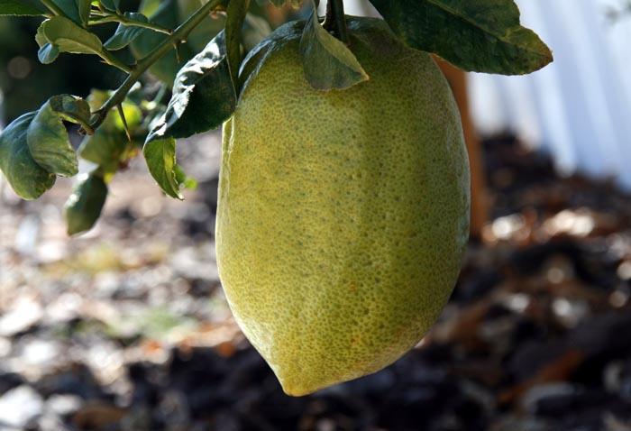 Cedrat etrog Citrus medica