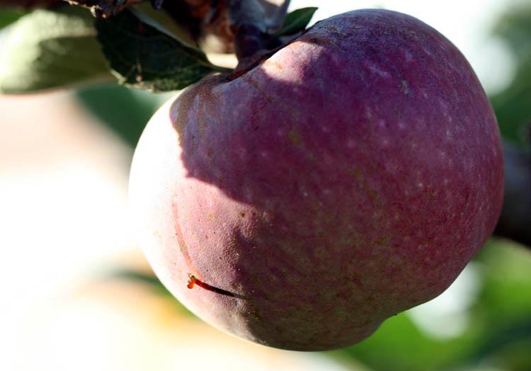 Peach peche