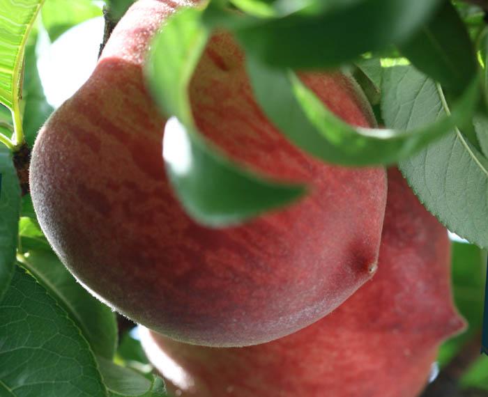 Breast peach seins peche 乳房 Seios