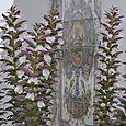Acanthus acanthes Béatrice Pichon