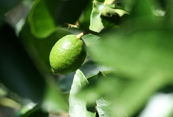 Lime ライム citron vert lima