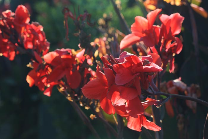 Canna indica red