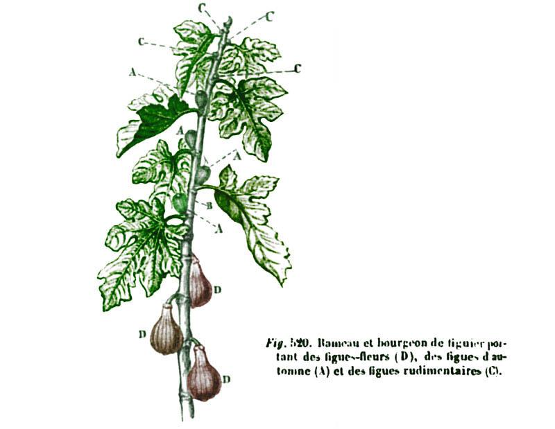 Fig figue イチジク figo