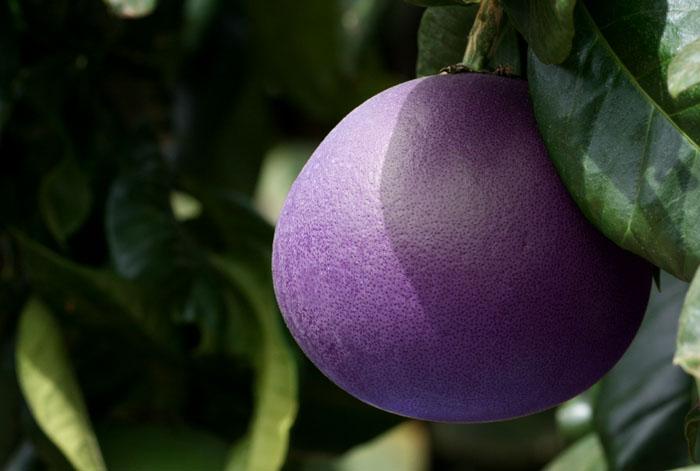 Mauve grapefruit pamplemousse mauve