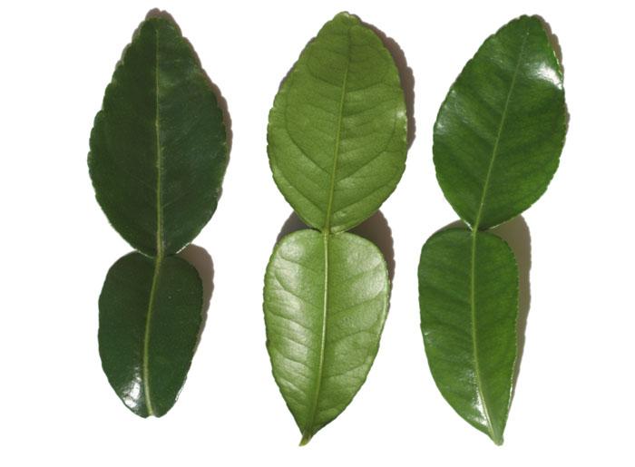 Combava feuille kaffir lime leaf
