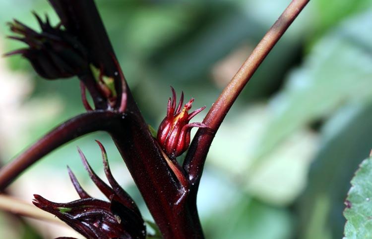 Hibiscus sabdariffa bissap blossom bissap, roselle, oseille de Guinée
