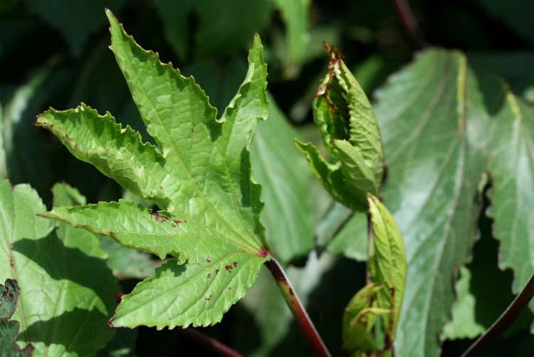Hibiscus sabdariffa bissap leaf  bissap, roselle, oseille de Guinéefeuille