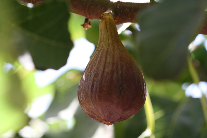 Fichi fioroni early-ripe fig fioroni figue fleur hocory breba