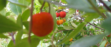 Strawberry tree21