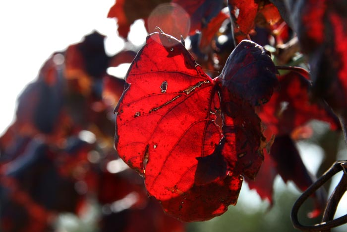 Red vine leaf feuille rouge baco rouge