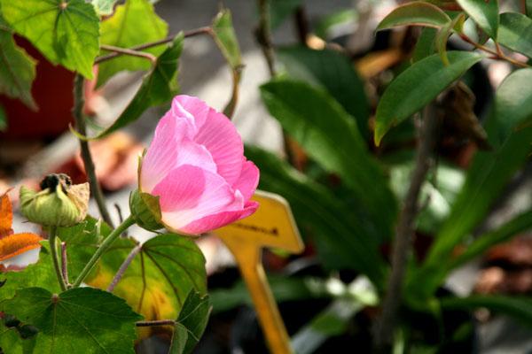 Hibiscus mutabilis  caprice de femme
