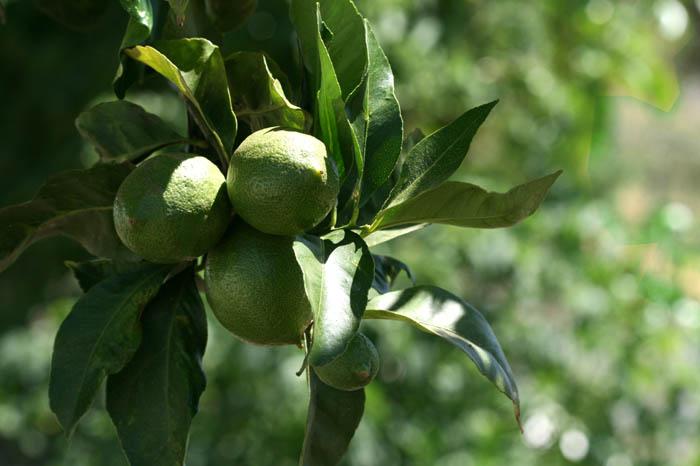 Lime lima citron vert