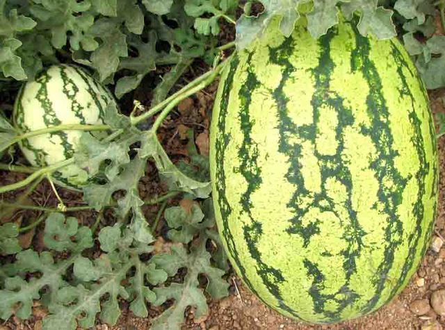 Logon watermelon