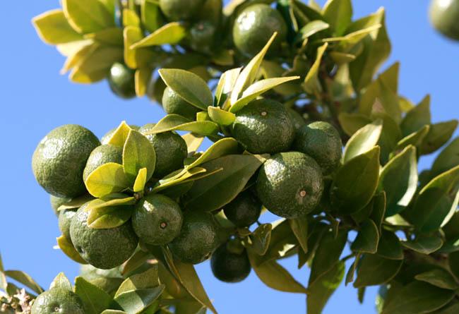 C. aurantium myrtifolia