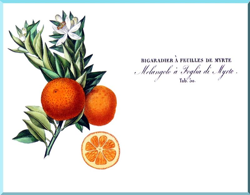C. Aurantium Bigaradier à feuilles de myrte A Poiteau Risso