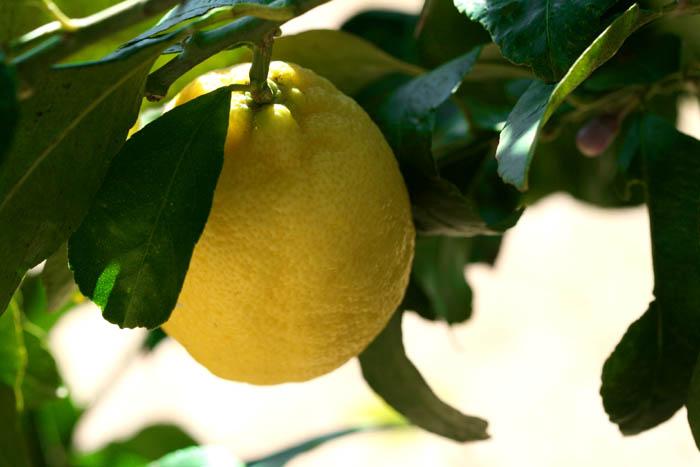 レモン Sitron limón