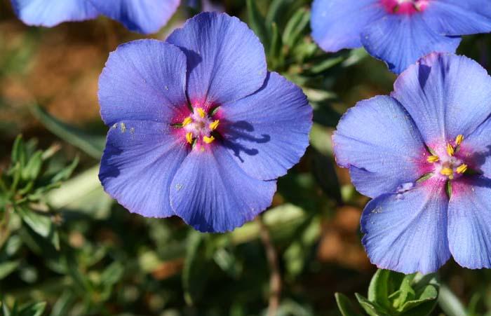Anagallis monelli  mouron bleu