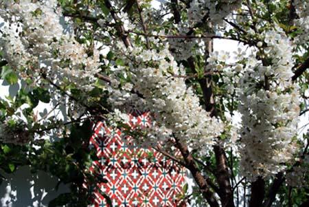Cerisier jardin rouge